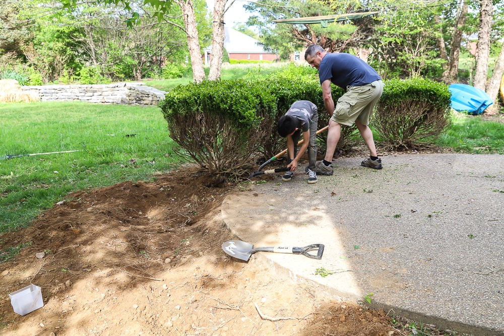 Digging up boxwood bushes and prepping the site for our outdoor fireplace